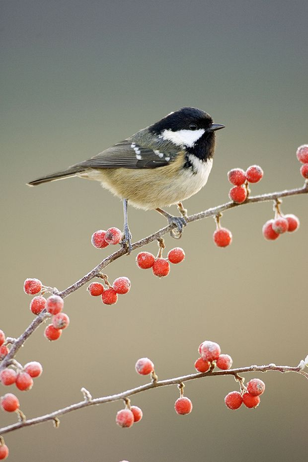 coal tit on frosty branch to illustrate feeding birds in winter tips