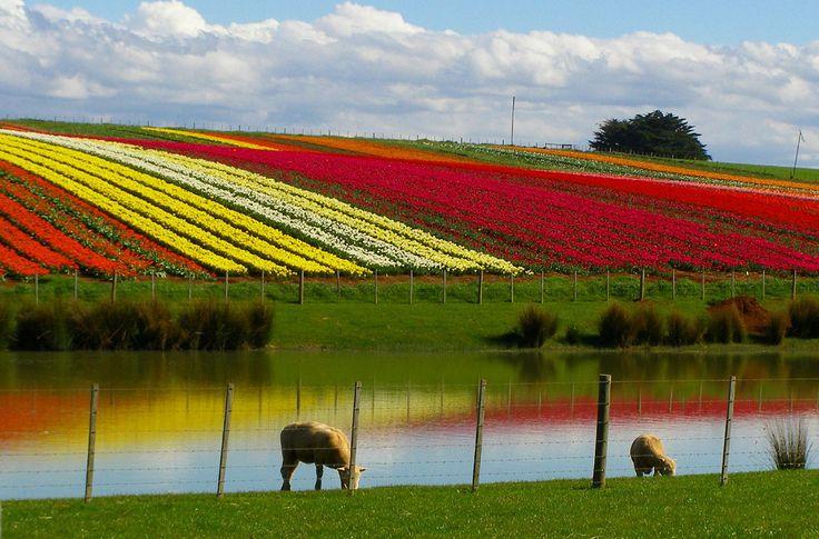 Tulip farm in Table Cape, Tasmania, AU