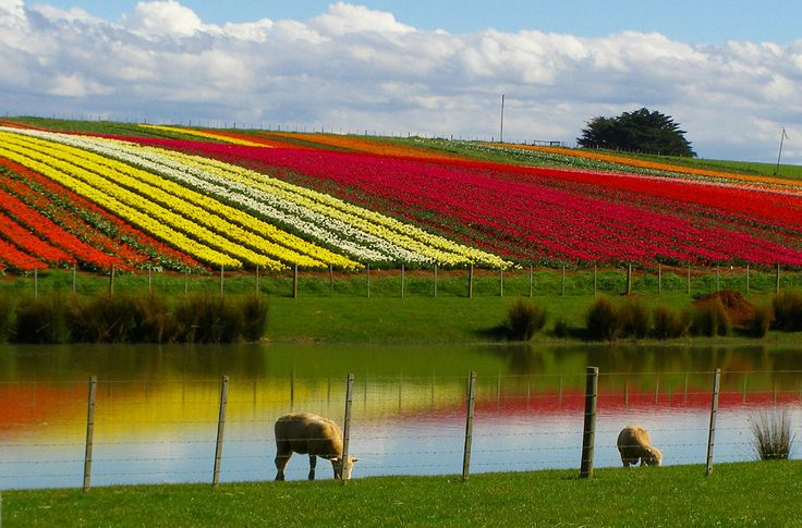 Tulip farm in Table Cape, Tasmania, AU