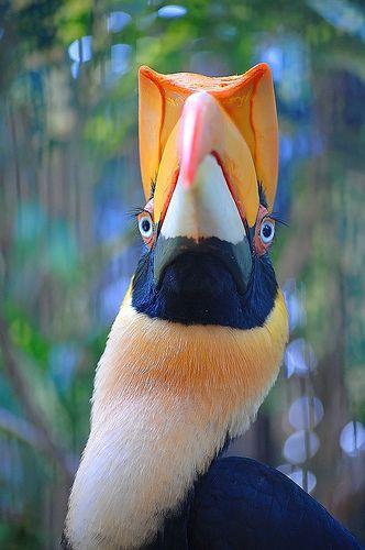 ✭ Great Indian Hornbill