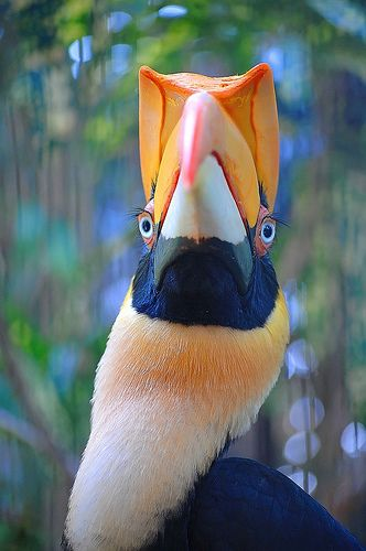 """great indian hornbill, """"Well, you are as naked as can be, hardly a feather on your body except for that plumage atop that thing you can a head. You are a hideous bird!"""""""