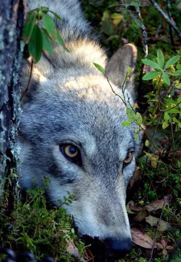 wolf wolves lobo lobos animal