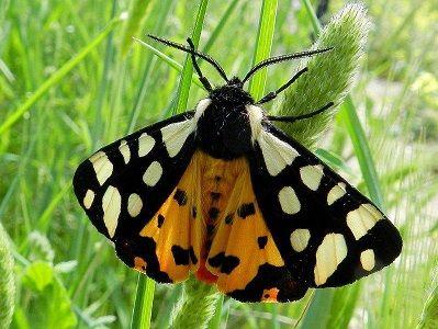 Arctia villica (Linnaeus, 1758) - le farfalle della Puglia