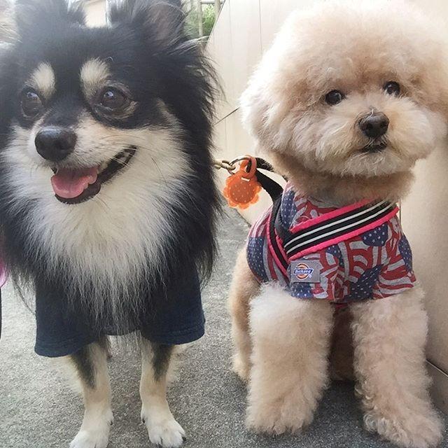 おはようございます😊💕 .  今日から連休の皆様、良い休日を🙌❤️ .  #犬#ワンコ#dog #dogstagram #instadog #ilovemydog #petstagram #ちわぽめ #チワワ#チワポメ#Chihuahua#Pomeranian #mix犬 #mixdog #トイプードル#toypoodle #トイプードル #プードル#幸せお届け隊 #愛犬 #todayswanko #わんこなしでは生きていけません会 #いぬら部 #ふわもこ部