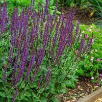 Cardonna Salvia