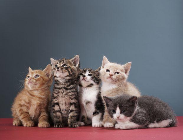 Diferenças entre gatos malhados cinza e prata