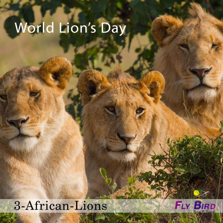 10th Aug, World Lion's Day.