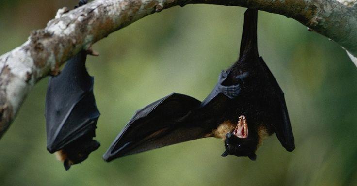 Morcegos conhecidos como raposas voadoras em uma floresta na Samoa Americana, na Polinésia. Com asas que podem chegar a 1,5 metros, esses morcegos estão entre os maiores do mundo