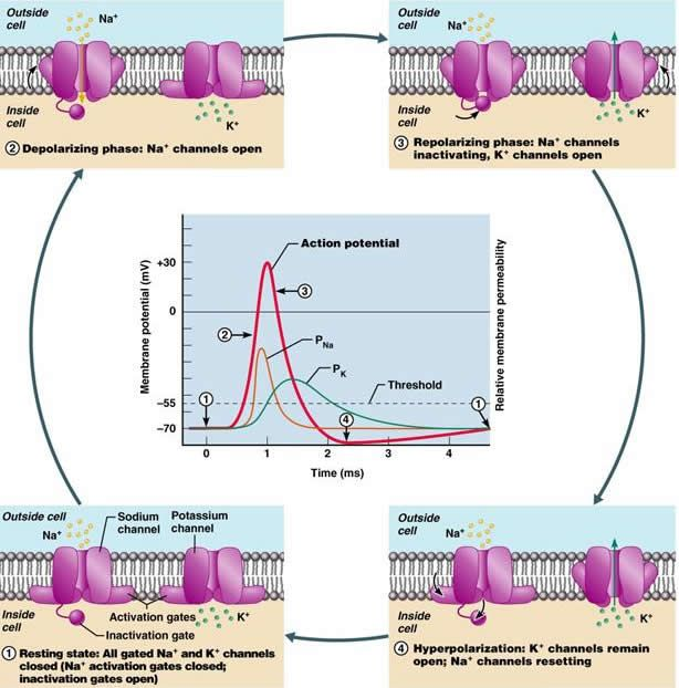 nervous system membrane action potential Nervous system powerpoint  in temporarily reversing the charge of the cell membrane = action potential • as the impulse passes, positively charged potassium.