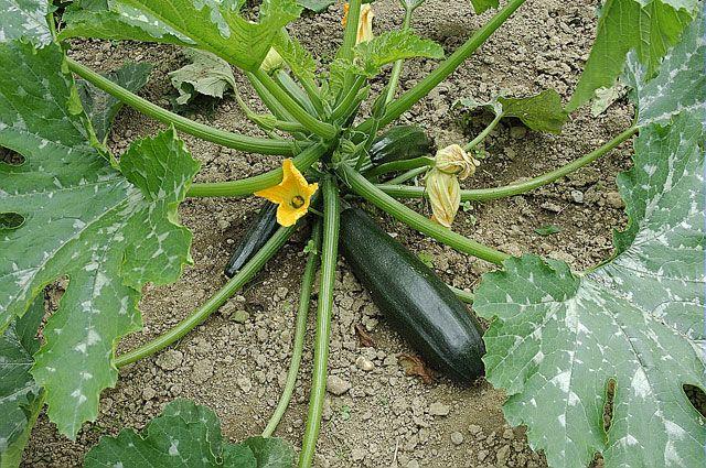 Période de semis, besoins, entretien : planter et récolter les courgettes, un des légumes les plus prolifiques du potager.