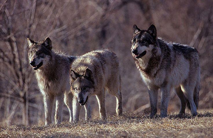Wilki - przodkowie psów. Są one dzikie oraz żyją one w stadach zwanymi watahami. Ich kluczem do przetrwania jest współpraca.