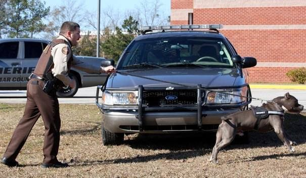 Police dog training with American Pit Bull Terriers is now a common practice amongst law enforcement. While some choose to use this breeds determination and strength for criminal actives, law enforcement uses this dog's abilities for positive reasons.Police departments use a number of different breeds of dogs for police dog training. Shown to the left is an officer working with an American Pit Bull Terrier.Contrary to some of the negative stereotypes that surround this breed, these dogs make…
