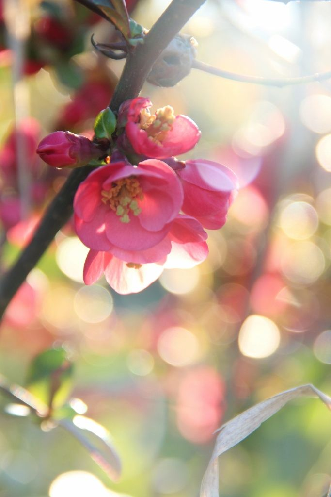 A Day in the Country...took this very pretty shot yesterday of a quince branch.