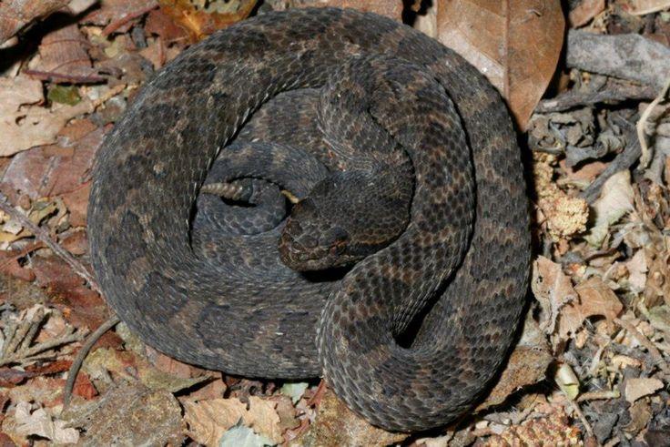 Resultado de imagem para Crotalus pusillus, Tancitaran dusky rattlesnake