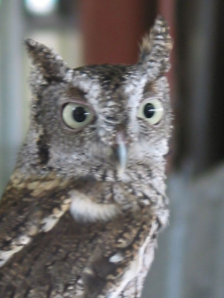 A very talkative owl (and handsome too)