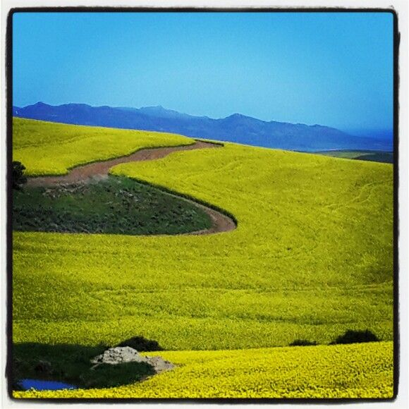 Beautiful canola land in the Overberg region, South Africa