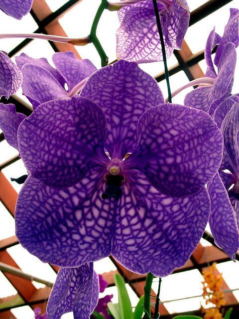 Purple Vanda orchid   Pinterest   Vanda orchids, Orchid and Flowers