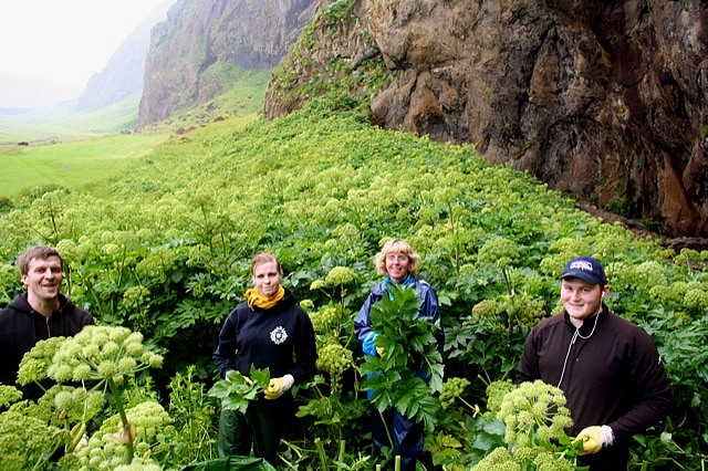 This is one of SagaMedica's herb gathering squads. They're gathering herbs, mostly angelica herb, for remedies which have been developed as a result of extensive academic research performed at SagaMedica.     All too often we reach for a pill, down a drink, or substitute some other OTC remedy without trying to undestand the cause or treat it. Plants, flowers, shrubs each can give us the cure for the problem without worrying about the side effects.