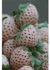 Lovely Pineberry plants. Strawberry plants that taste of pineapple!