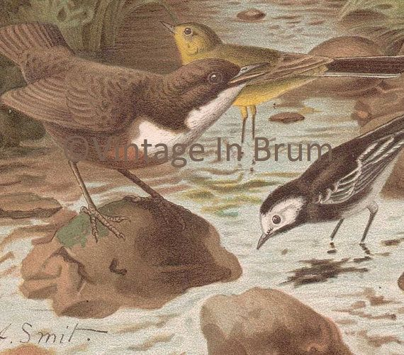 Dipper-pied-wagtail-yellow-wagtail-birds