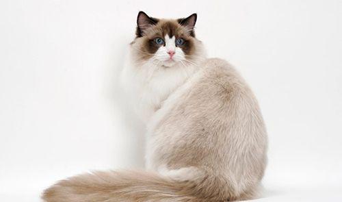 Resultado de imagem para gato ragdoll cinza