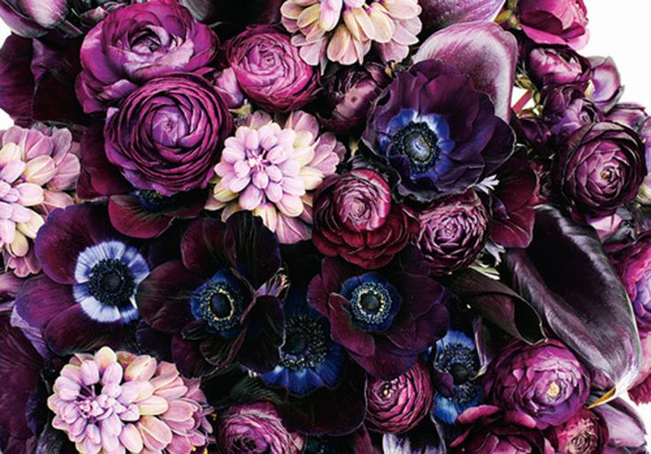 Beautiful deep violet purple peonies.