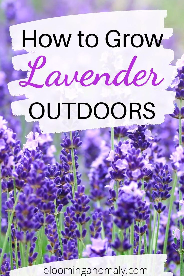 How to grow lavender outdoors video growing lavender
