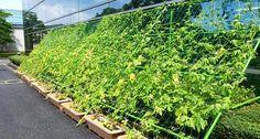 Cortina verde: conheça essa nova sensação do paisagismo | Jardim das Ideias STIHL - Dicas de jardinagem e paisagismo