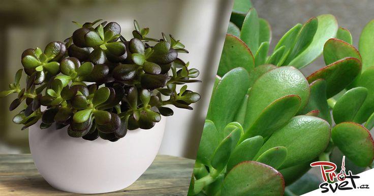 V českýchdomácnostech je tato rostlina velmi populární, ale lidé nejednou neznají její blahodárné účinky. Kromě toho, že je nenáročná na pěstování, dokážete ji lehce rozmnožit, je příjemná a pěkná na pohled a kromě toho léčí. Víte o jaké rostlině je řeč? Rostlina z rodu Crassula je u nás známá především jako Tlustice. Řadíme ji do …