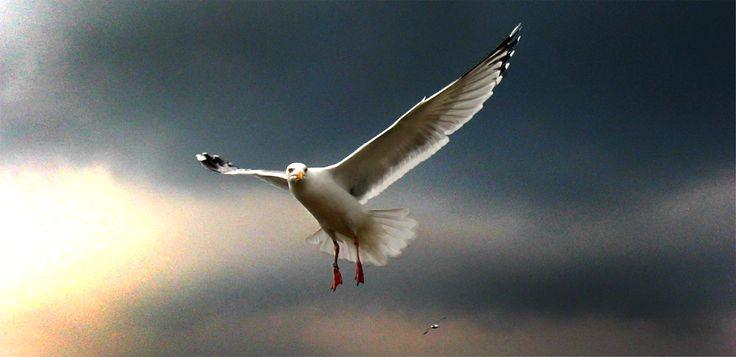 Seagull, Oban, Scotland.