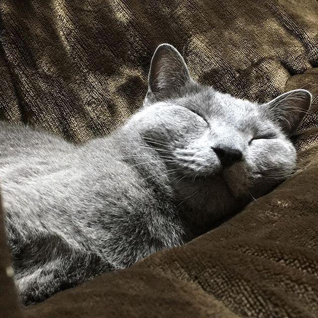 #ロシアンブルー  #猫  #愛猫  #眠たいよー  #ウトウト からの #スヤスヤ  #ルドルフ