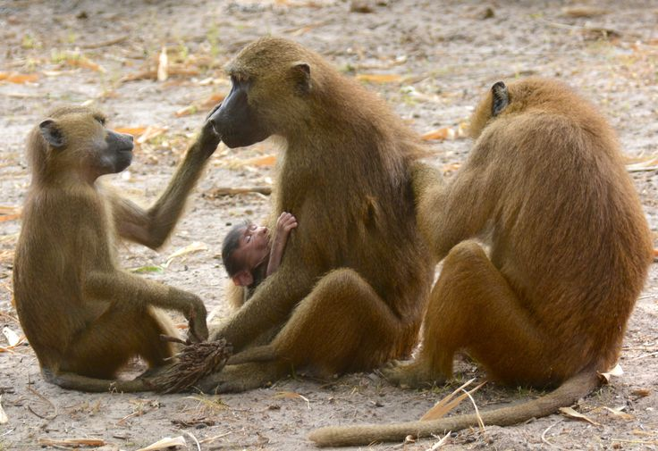 Guinea baboons in Makasutu Forest, Gambia. #GuineaBaboons #Guineabavianer #FamilyLife #Familieliv #Makasutu #Gambia #SpiesRejser #HenryRasmussen