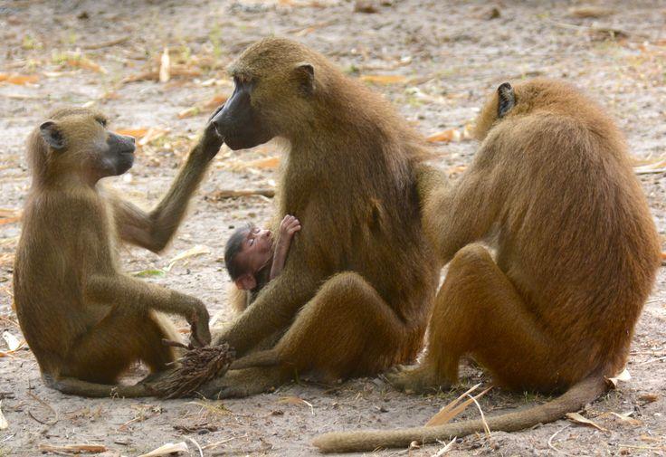 Guinea baboons in Makasutu Forest, Gambia. #GuineaBaboons #Guineabavianer #FamilyLife #Familieliv #Makasutu #Gambia #SpiesRejser #HenryRasmussen