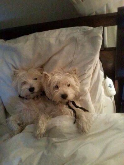 Resultado de imagen para your Westies dog sleeping in my bed with me
