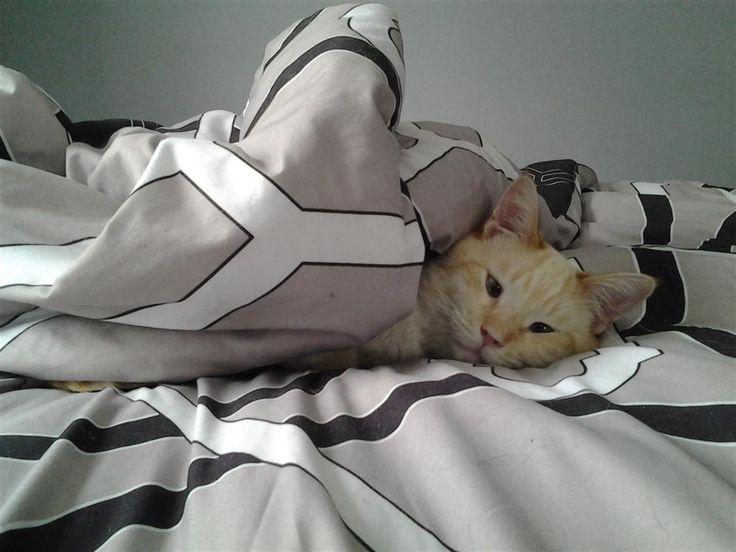 Lost Cat Siamese London, ON, Canada N5Y 1R5 Lost cat