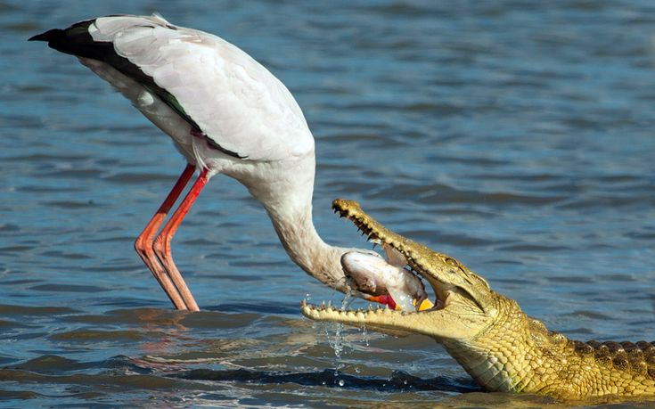 The stork gets away with its head as a hungry crocodile swoops in and steals the catch