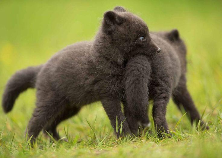 Islanda, i cuccioli di volpe artica si scatenano nell'erba - Corriere.it