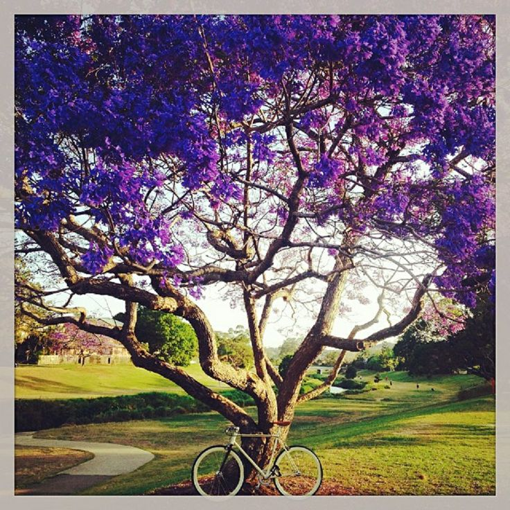 Purple Rain – Jacarandas in full bloom in Brisbane