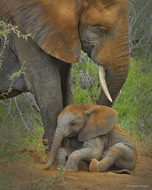 A baby elephant calf taking a dust bath with mom (Kruger National Park, South Africa) by Martin Heigan