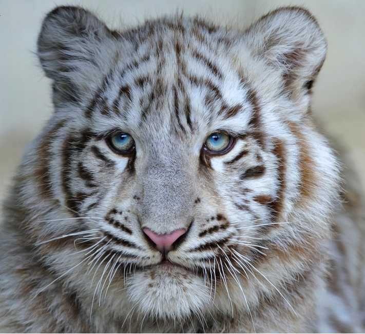 Картинки белый тигренок с голубыми глазами, днем рождения девушке