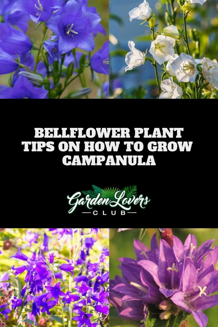Bellflower Plant Tips On How To Grow Campanula Bellflower Plant Plants Campanula