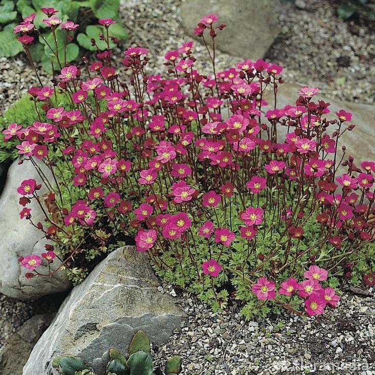 """Saxifraga """"Hypnoides"""" : Très florifère, le gazon turc existe en plusieurs couleurs, blanc, rouge, rose pour exposer soleil ou mi-ombre sur des rocailles, murets, dallages"""