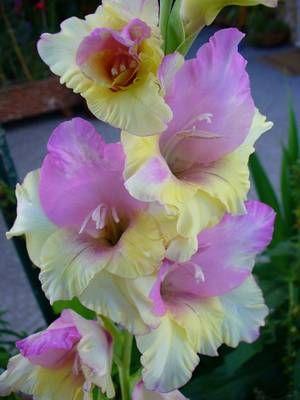 gladiolus                                                                                                                                                                                 More