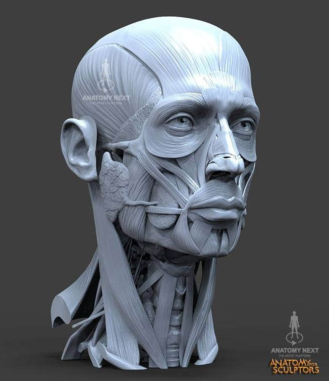 147 best Anatomy: Head and Face images on Pinterest | Faces, Anatomy ...