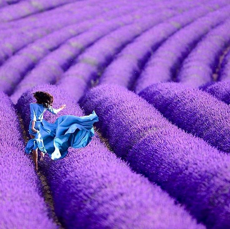 Lavender Fields of France