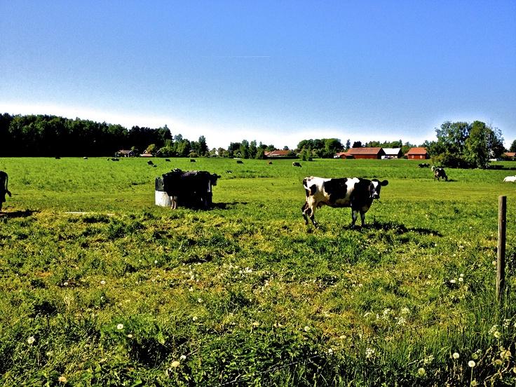 Cows grazing on Visingo Island