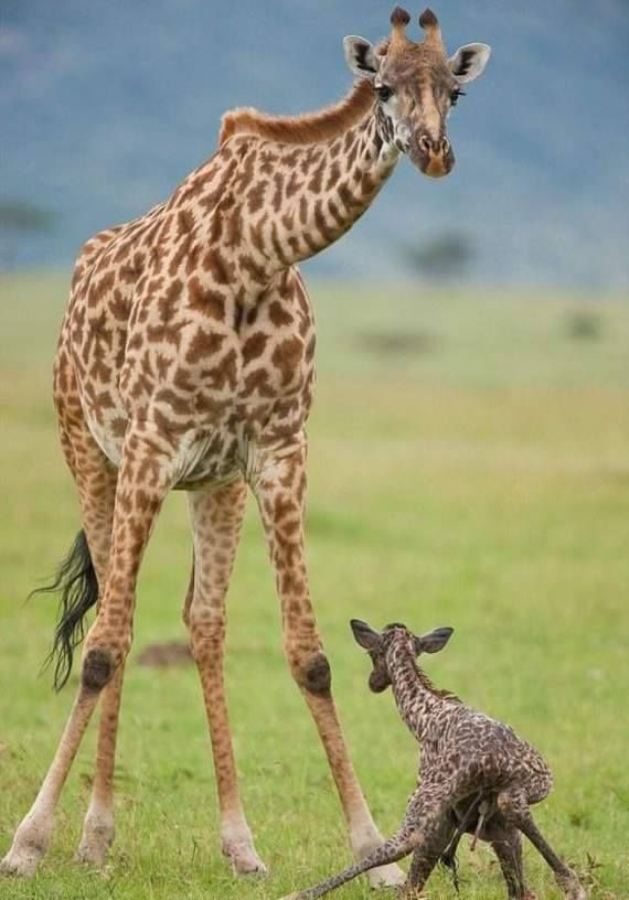 "Aww... Baby giraffe playing ""Catch me if you can!"" with mom! <3"