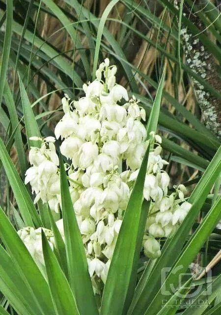 Flor De Izote Garden Plants