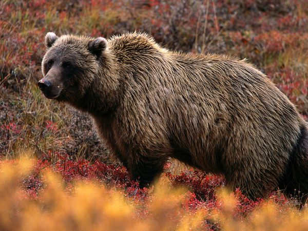 Grizzly Fast Facts~  Type:  Mammal  Diet:  Omnivore  Average life span in the wild:  25 years  Size:  5 to 8 ft (1.5 to 2.5 m)  Weight:  800 lbs (363 kg)  Protection status:  Threatened  Size relative to a 6-ft (2-m) man: