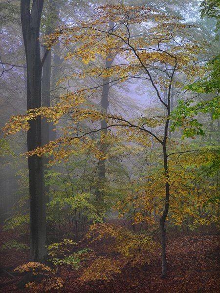 Beech Forest in Autumn Mist , Söderåsen National Park, Sweden